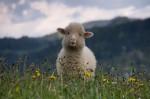 Mua kem nhau thai cừu ở đâu?
