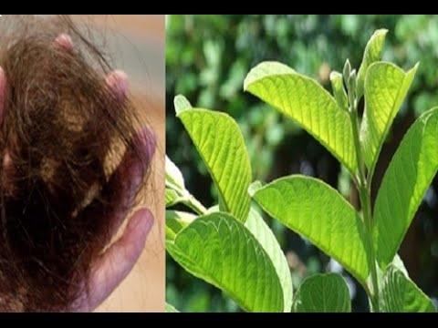 Kinh nghiệm trị gàu, rụng tóc mùa đông chỉ 2 tuần bằng lá ổi