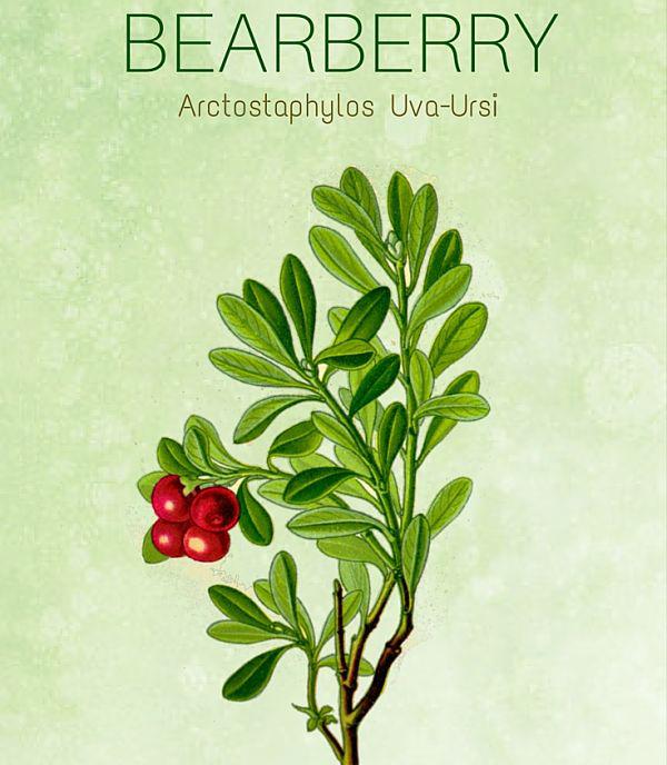 Bước đột phá mới trong điều trị nám - Arctostaphylos Uva Ursi Leaf Extract