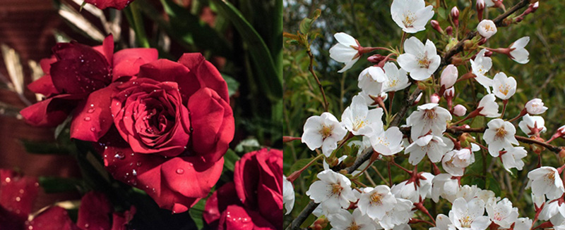 Toner sakura chứa chiết xuất hoa hồng hữu cơ và hoa anh đào tinh khiết
